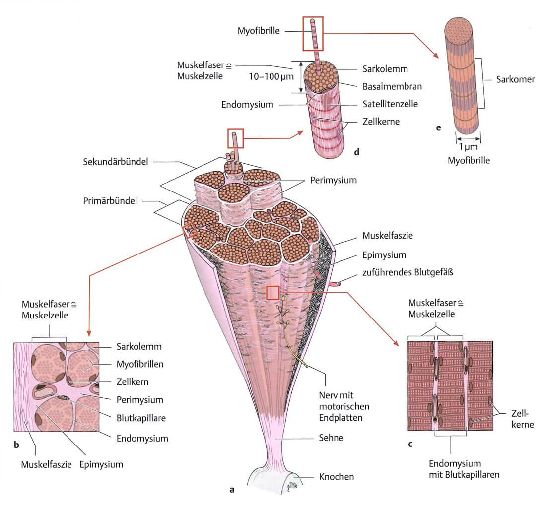 Muskelkater Aufbau des Muskels im Detail