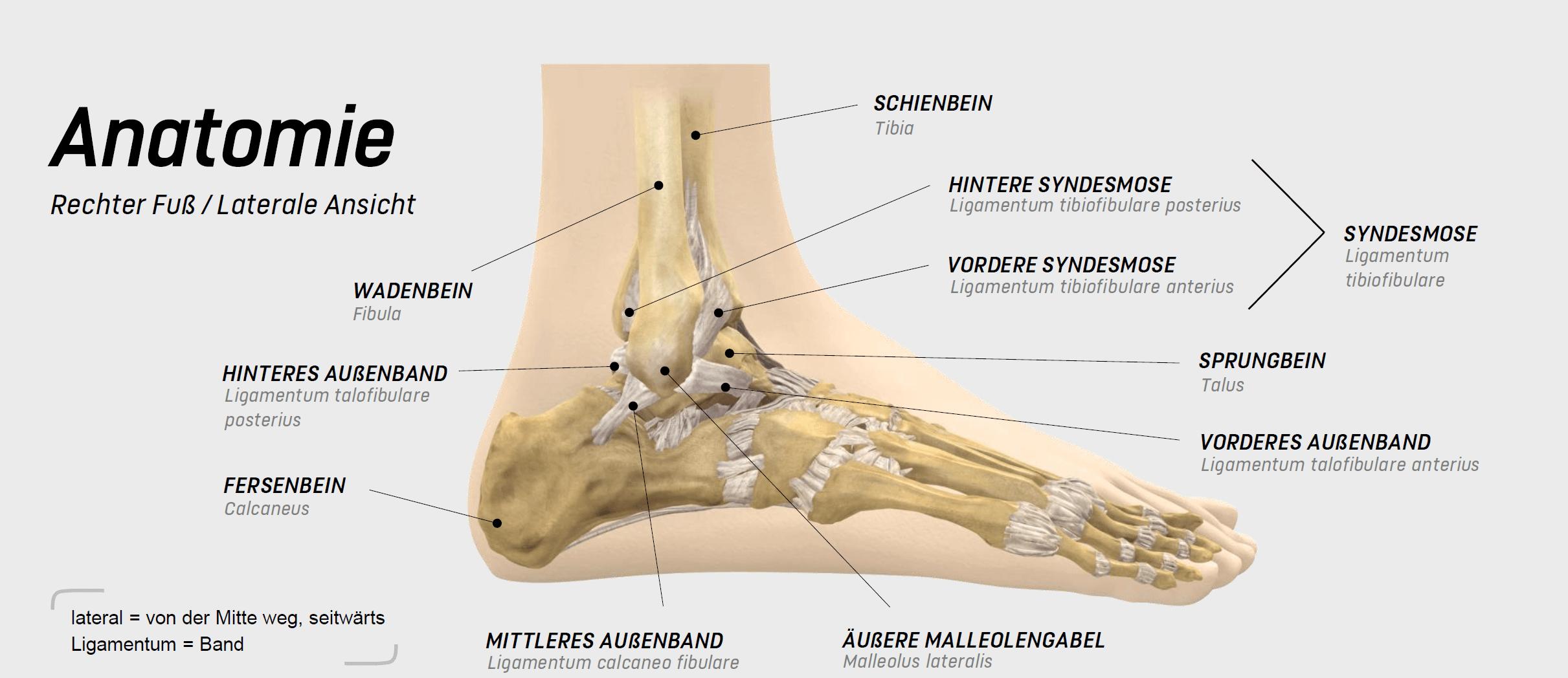 anatomie sprunggelenk bänder
